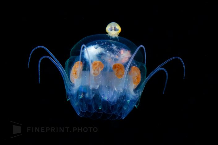 Hyperiidea riding the jellyfish. It's like an alien maneuvering a spaceship / Jellyfish umbrella width 20 mm / ID: D5A2329