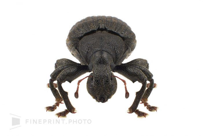 From Laos. There are eyes on the tip of the angle at the head. / Umazurahimehigenagazoumshi: 6mm / ID: 01_002