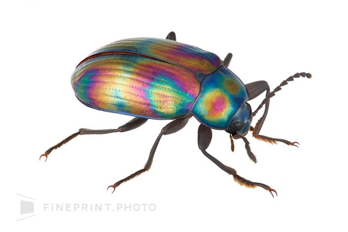 Japan. More complex colors (structural color) appear on the beam. / Oonaganijigomimushidamashi: 10mm / ID: 03_001
