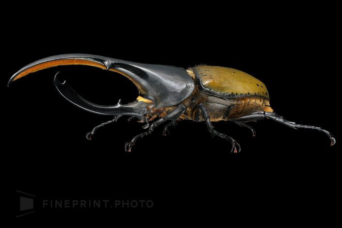 Ecuador. The world's largest beetle. Some individuals have the same length of breast angle and body. / Hercules beetle: 80mm / ID: 04_006