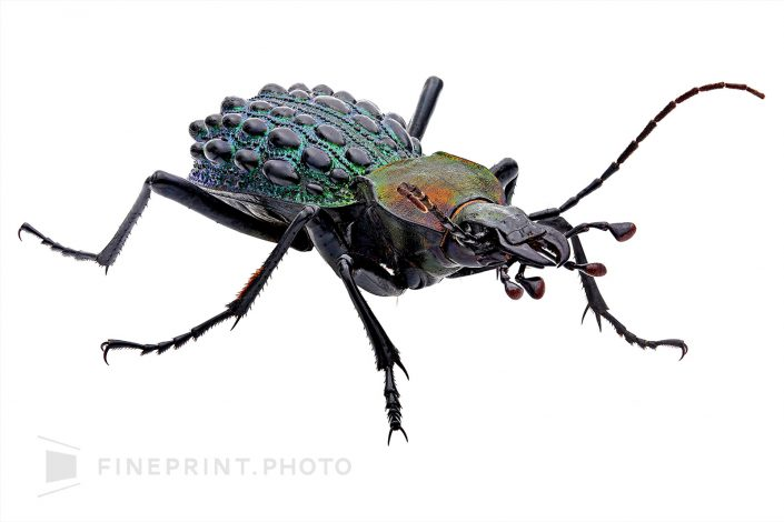 China. A unique Carabidae inhabit in China. / Midoriteioukaburimodoki:40mm / ID: 06_001