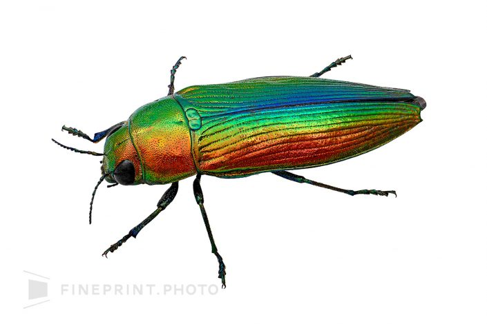 Japan. Medium Buprestidae with a beautiful gradation. The parasitic host plant is a fir, pine. / Aotamamushi: 20mm / ID: 07_001