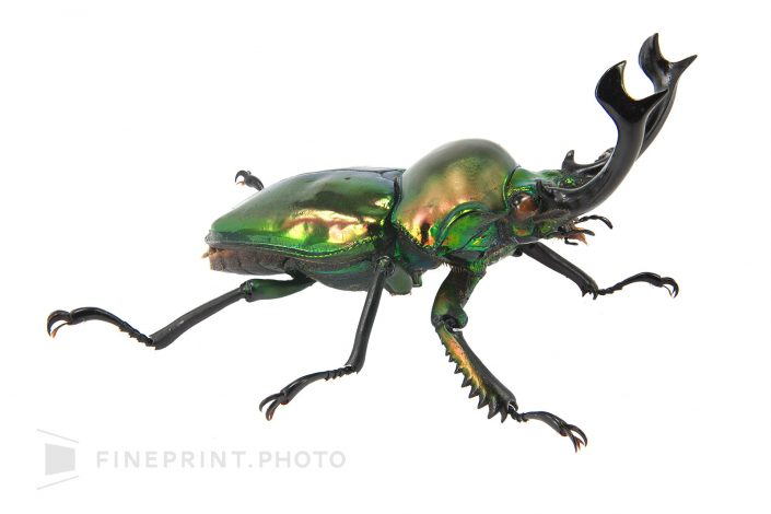Breeding specimen, place of origin: Australia. Famous as the most beautiful stag beetle in the world. / Nijiirokuwagata: 40mm / ID: 09_002