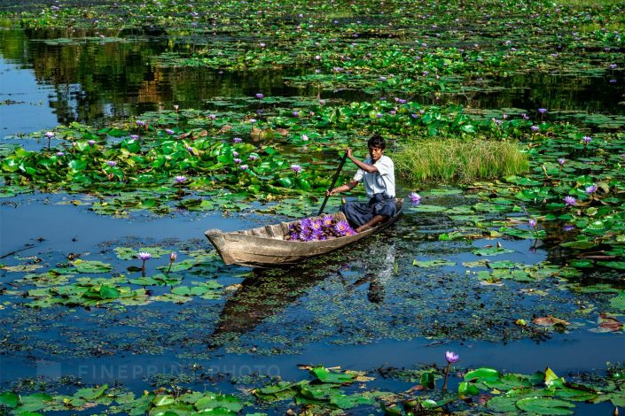 Picking lotus flowers for Buddha / ID: my16-18318-2